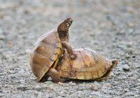 Mating Box Turtles