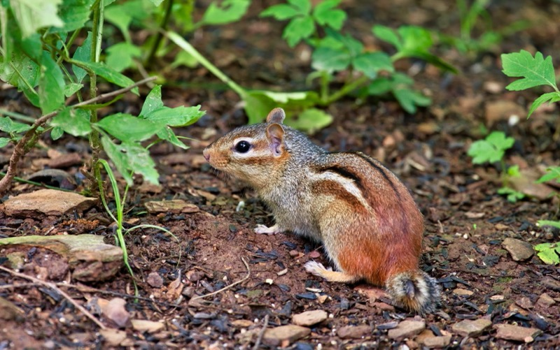 Chipmunk Eating Bird Seeds