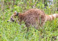 Cinnamon Raccoon #2