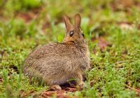 Cottontail Rabbit With Tick