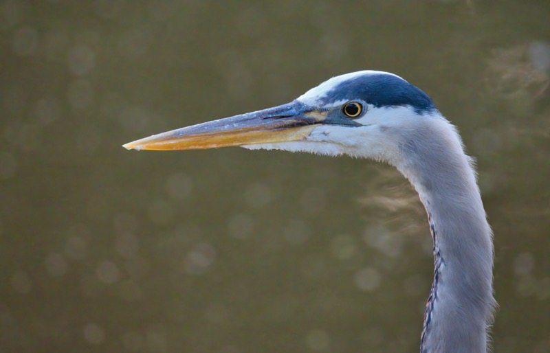 Great Blue Heron Close Up Portrait