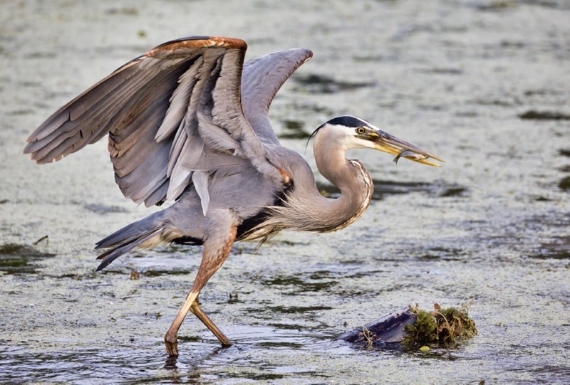 Great Blue Heron Trying To Balance