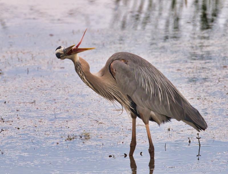Great Blue Heron 5721-3539
