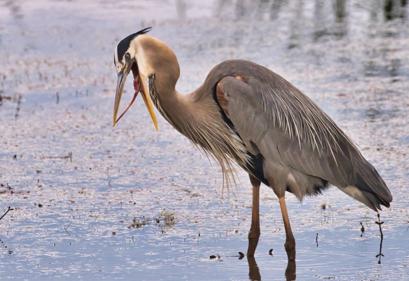 Great Blue Heron With A Problem