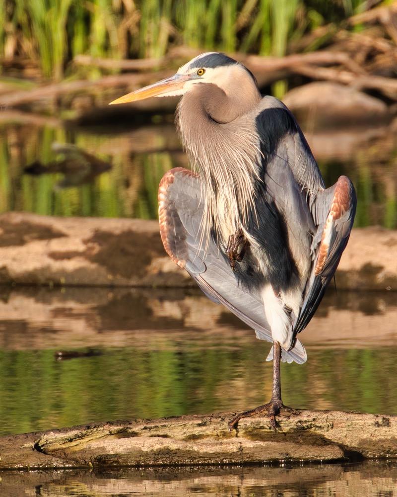 Great Blue Heron Sunning