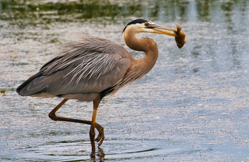 Great Blue Heron With Sunfish 2
