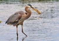 Great Blue Heron With Sunfish