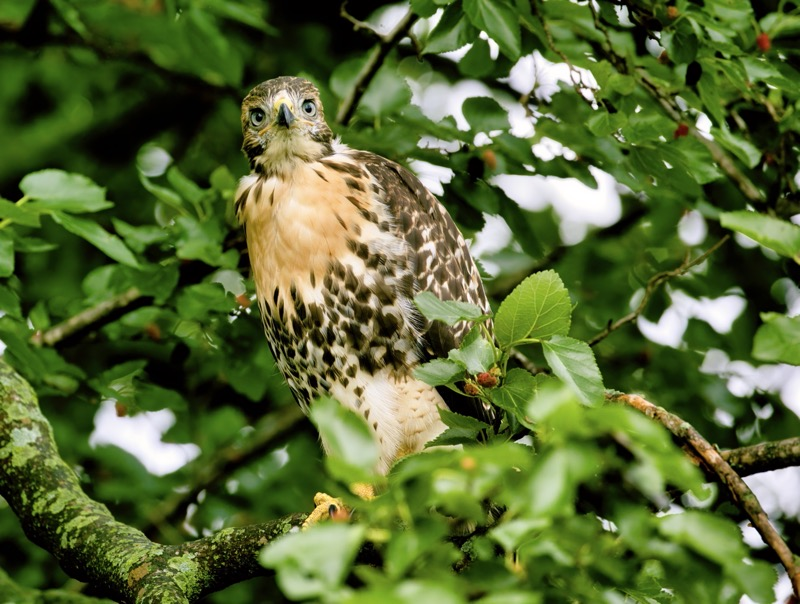 Red-tailed Hawk In A Mulberry Tree