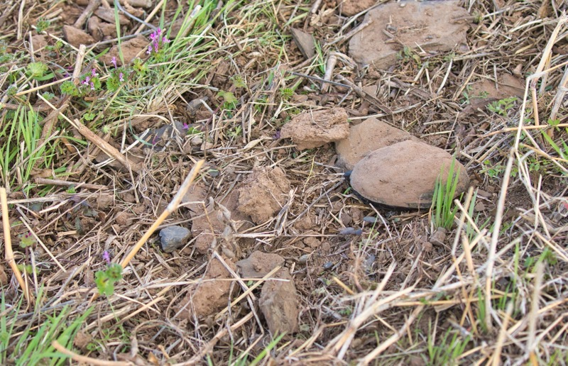 Mississippi Mud Turtle Hidden