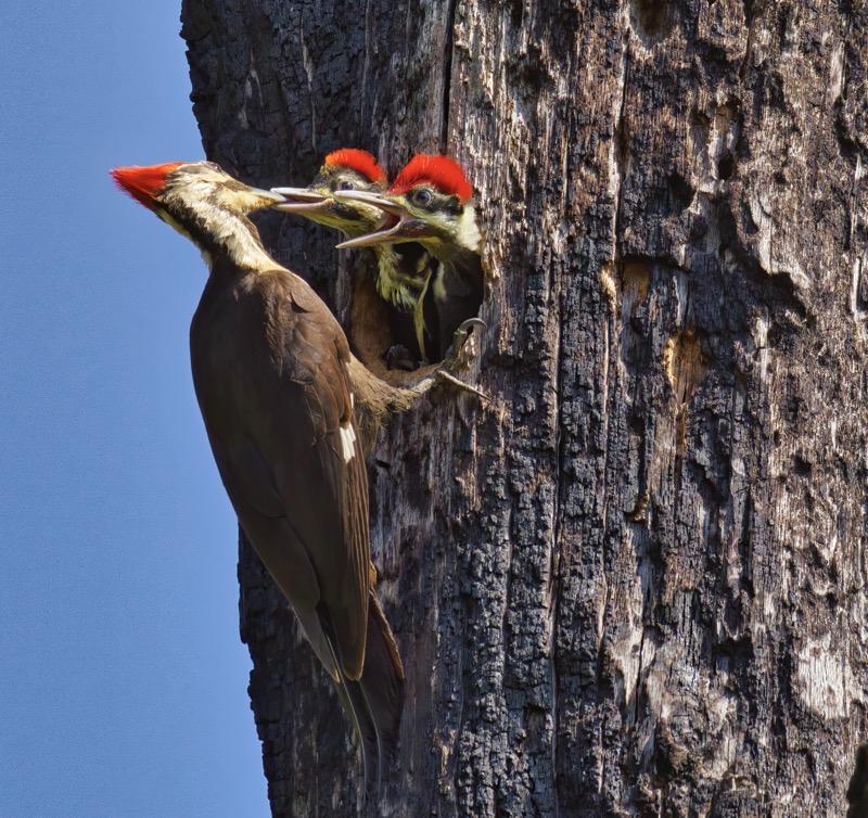 Pileated Woodpecker 5095 120502 1