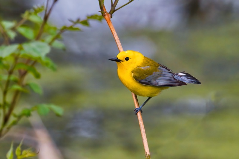 Prothonotary Warbler 050121