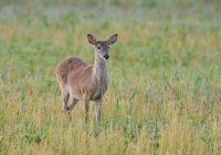 Whitetail Buck In Dockery Field