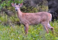Whitetail Buck Growing New Antlers #2