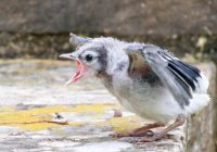 Hungry Baby Blue Jay
