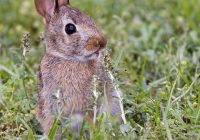 A Healthy Young Cottontail Rabbit