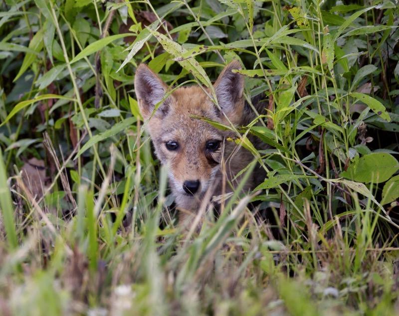 Baby Coyote #1