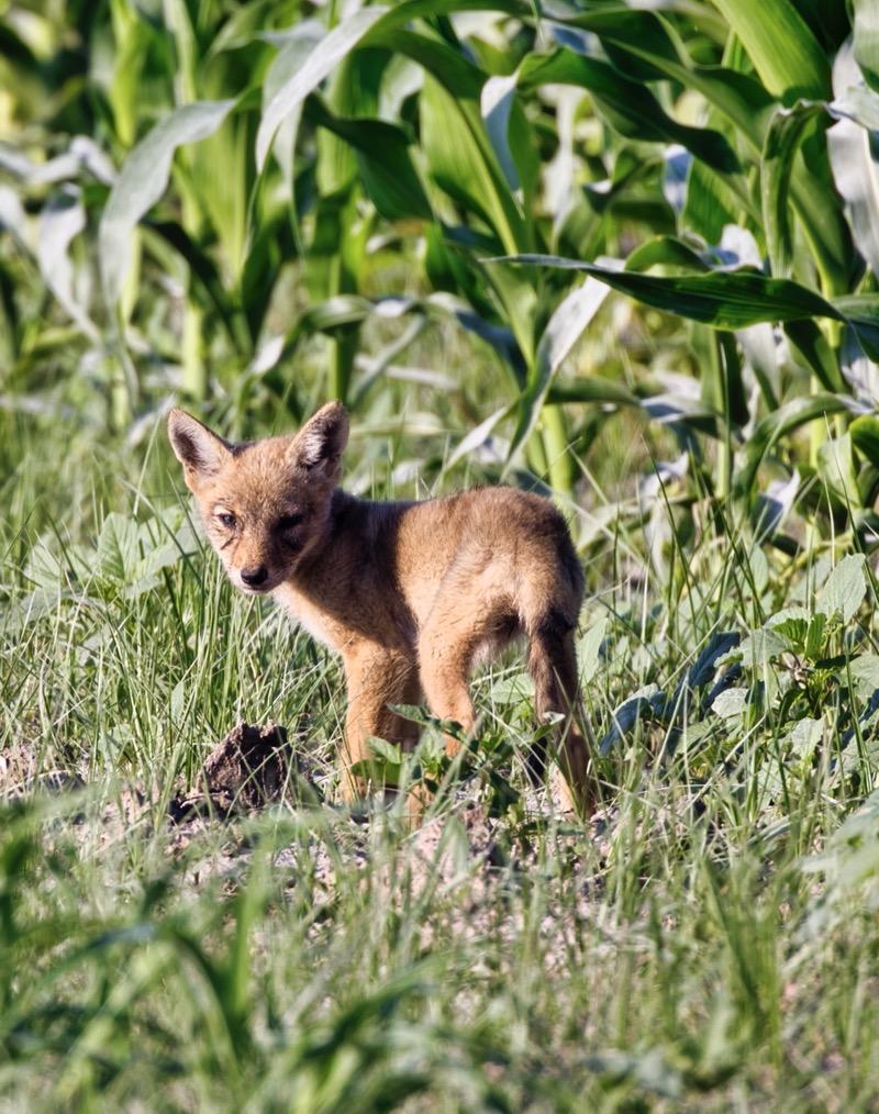Baby Coyote #2