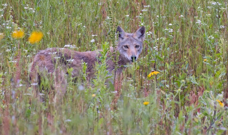 A Young Coyote
