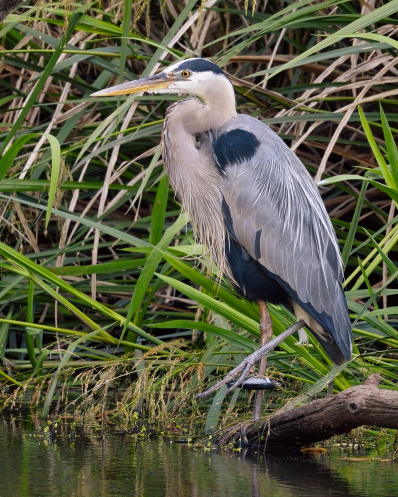 Great Blue Heron With Fishing Lure Stuck in Foot