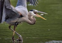 Great Blue Heron Eating Well