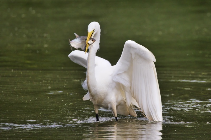 Great Egret With Shad