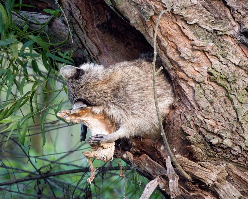 Tired Raccoon #2