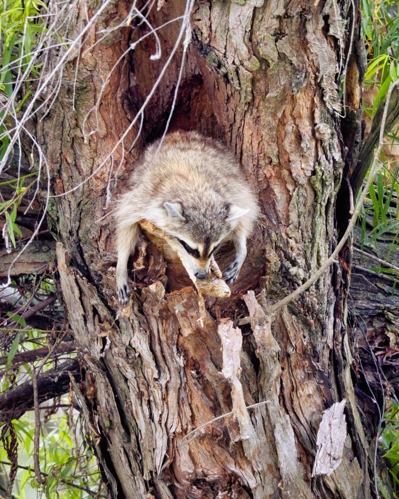 Tired Raccoon