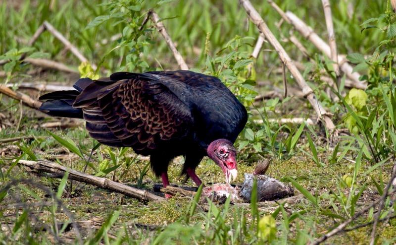 Turkey Vulture Eating A Catfish