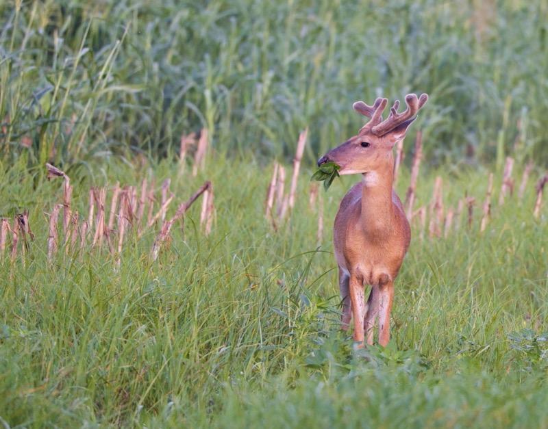 Whitetail Buck Feeding In Old Cornfield