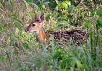 Whitetail Fawn In The Weeds