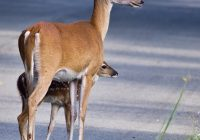 Whitetail Doe and Fawn In Roadway