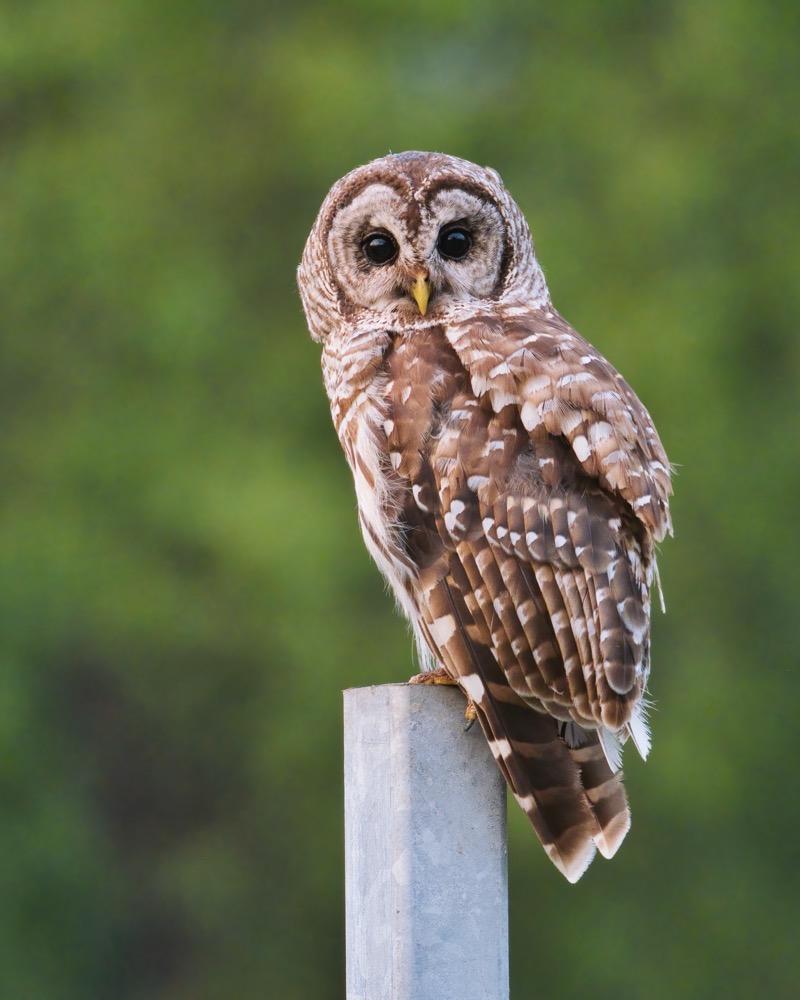 Barred Owl 7 4 21 5849 1
