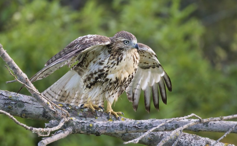 Young Red-tailed Hawk Stretching Wing
