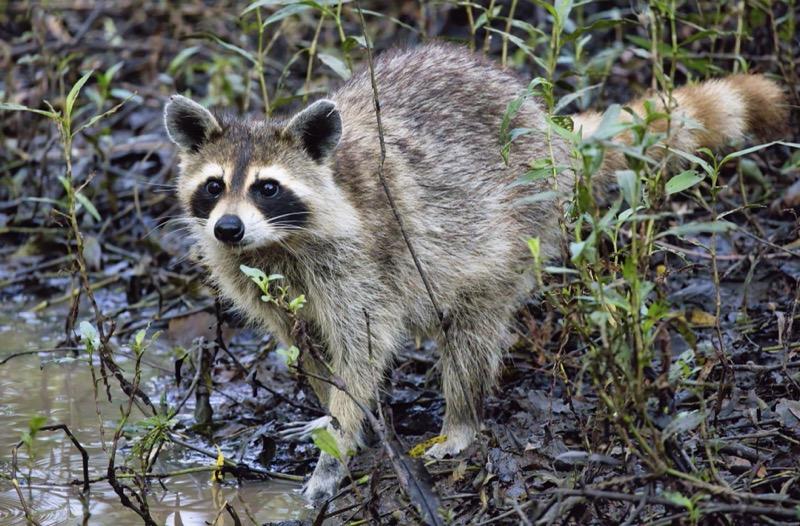 Raccoon With Cinnamon-colored Tail
