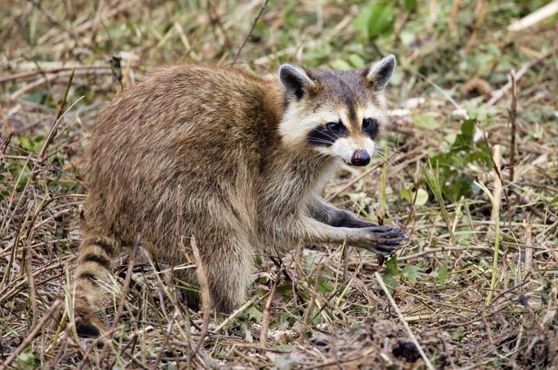 Raccoon Eating Frog Legs