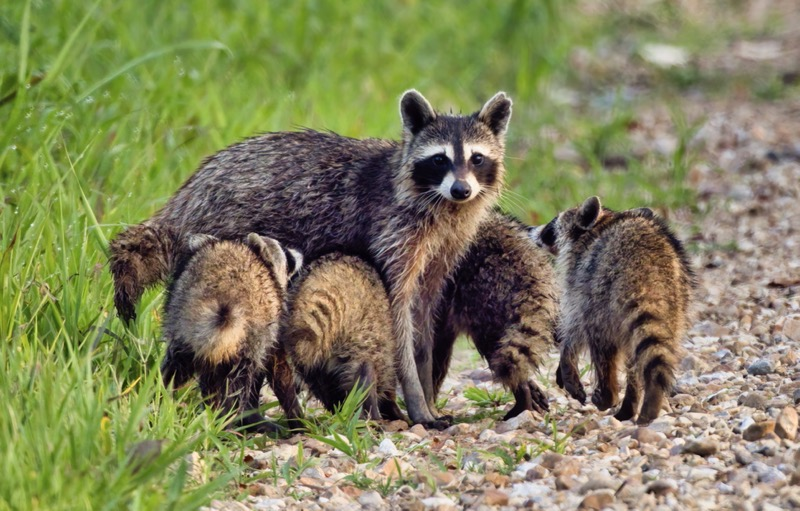 Raccoons With Four Little Ones