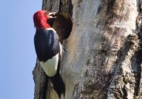 Red-headed Woodpecker Feeding Young