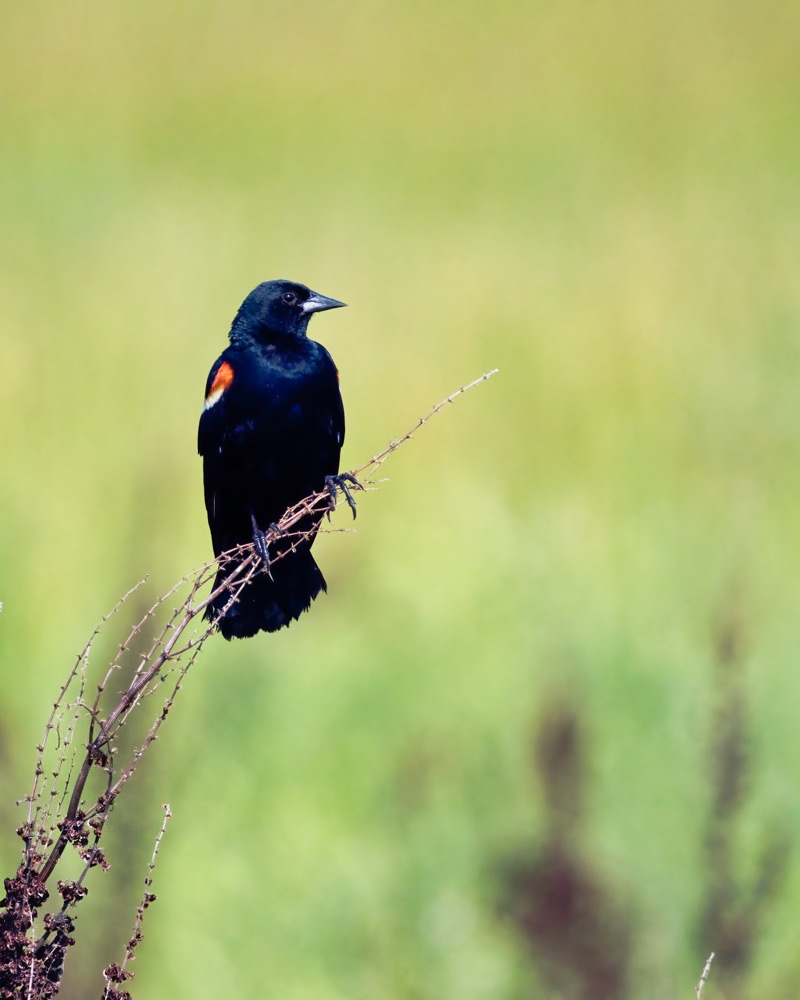 A Male Red-winged Blackbird
