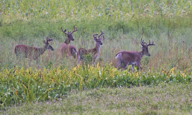 Four Whitetail Bucks