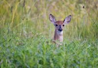 Whitetail Fawn In Tall Weeds