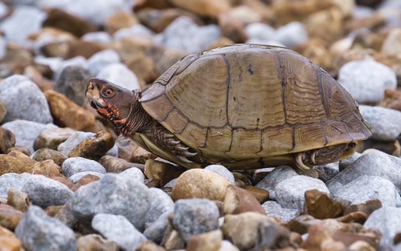 Box Turtle On The Rocks