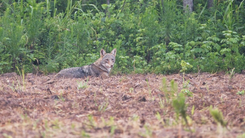 Coyote Resting