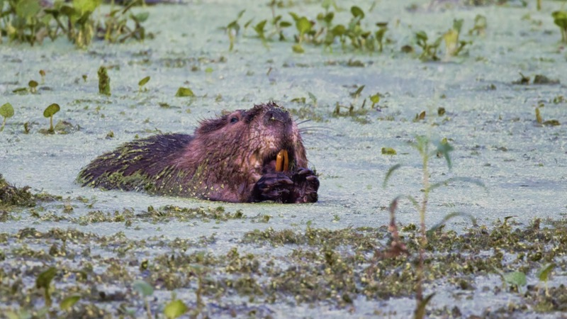 North American Beaver Eating Water Plants