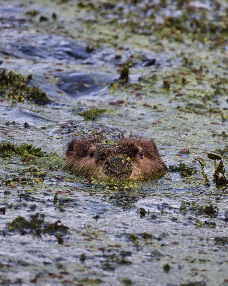 Beaver Swimming Toward Me