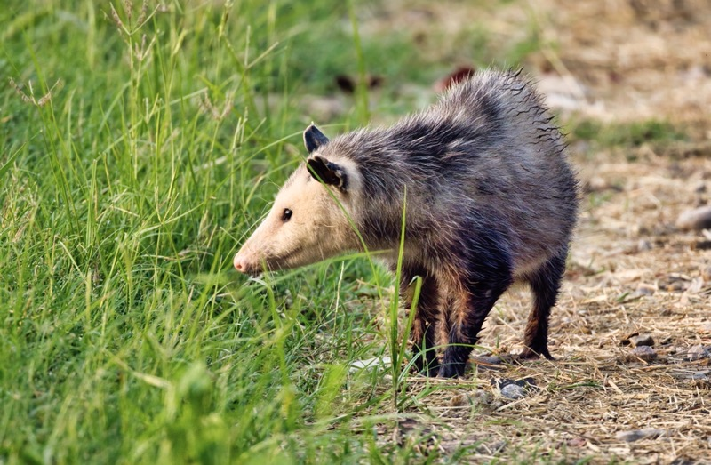 Opossum Walking On The Side Of The Road