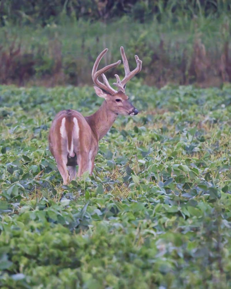 Large Whitetail Buck