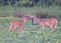 Whitetail Bucks In Velvet Sparring