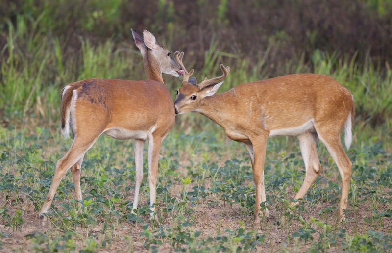 Whitetail Buck and Doe Grooming Each Other