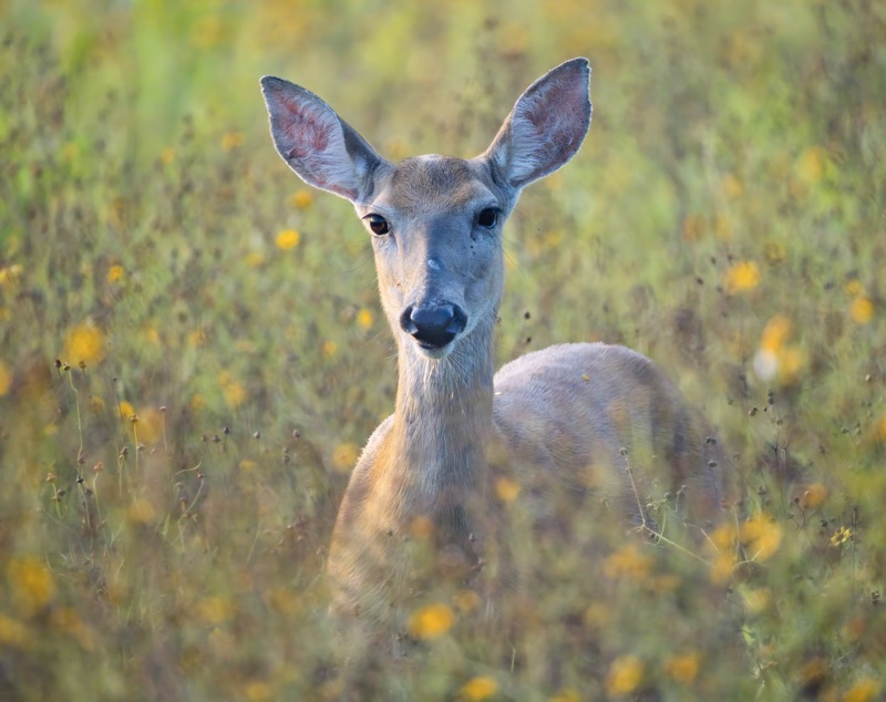 Whitetail Doe Standing In Wildflowers