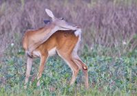 Whitetail Doe Grooming Her Tail